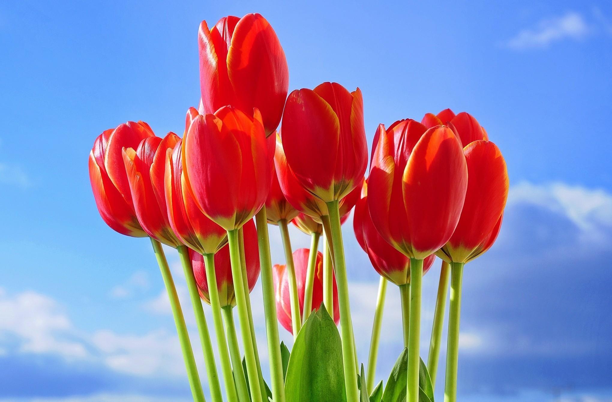 Картинки с красными тюльпанами