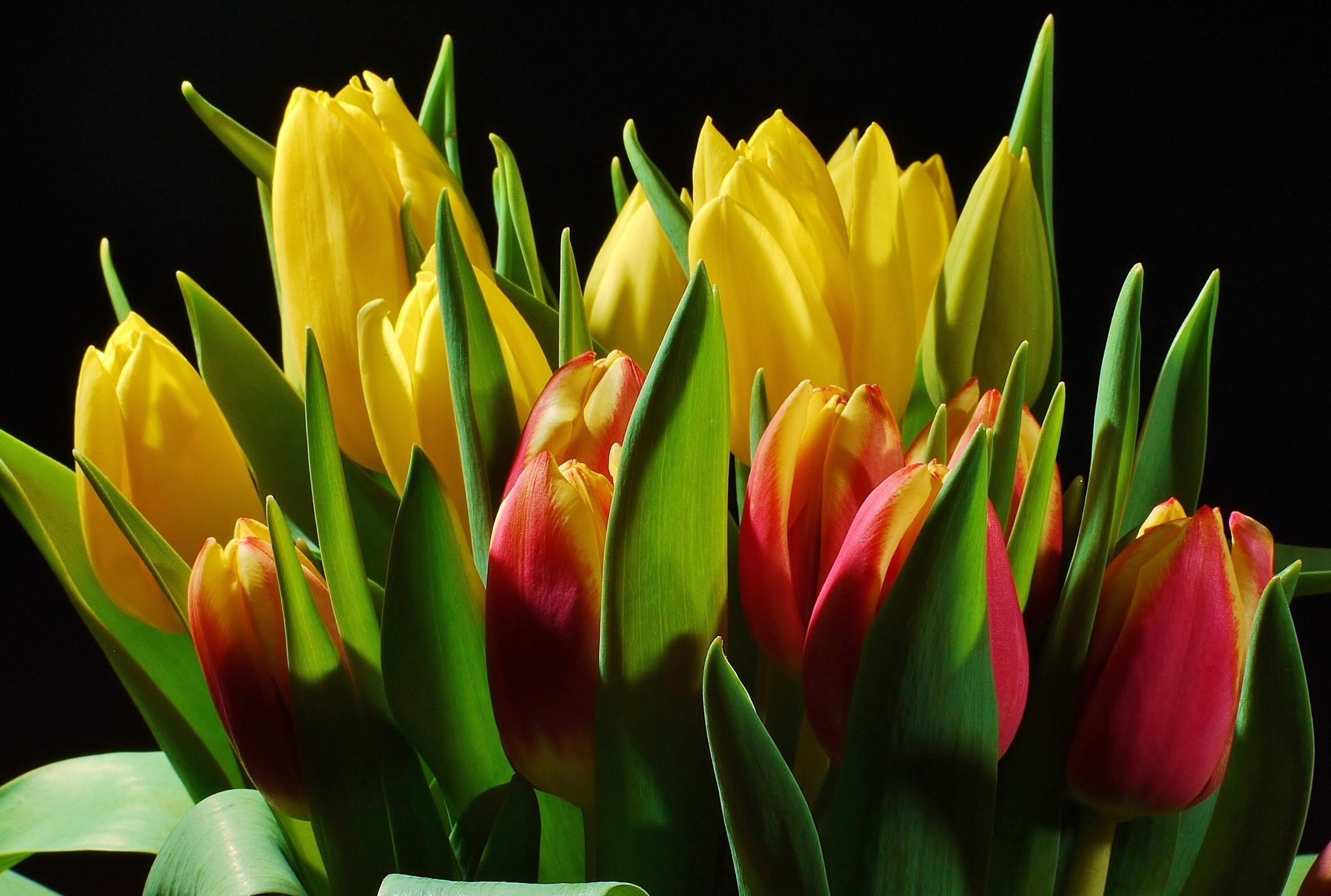 Wallpaper Tulips Flowers Buds Flower Light Black Background 2600x1750 4kwallpaper 688588 Hd Wallpapers Wallhere