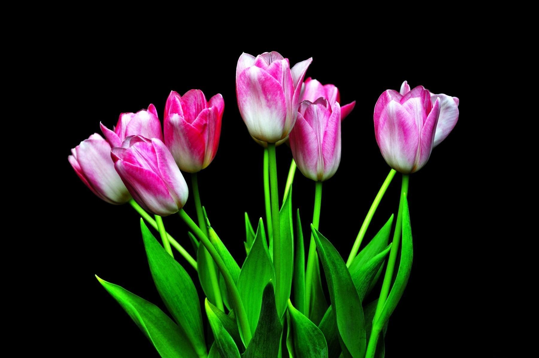 Wallpaper Tulips Flowers Flower Black Background 1800x1196 1057194 Hd Wallpapers Wallhere