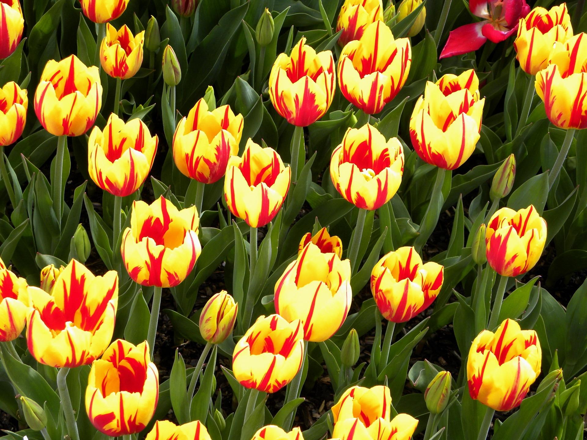 лысеющих смотреть картинки с тюльпанами тату приносят мужчинам