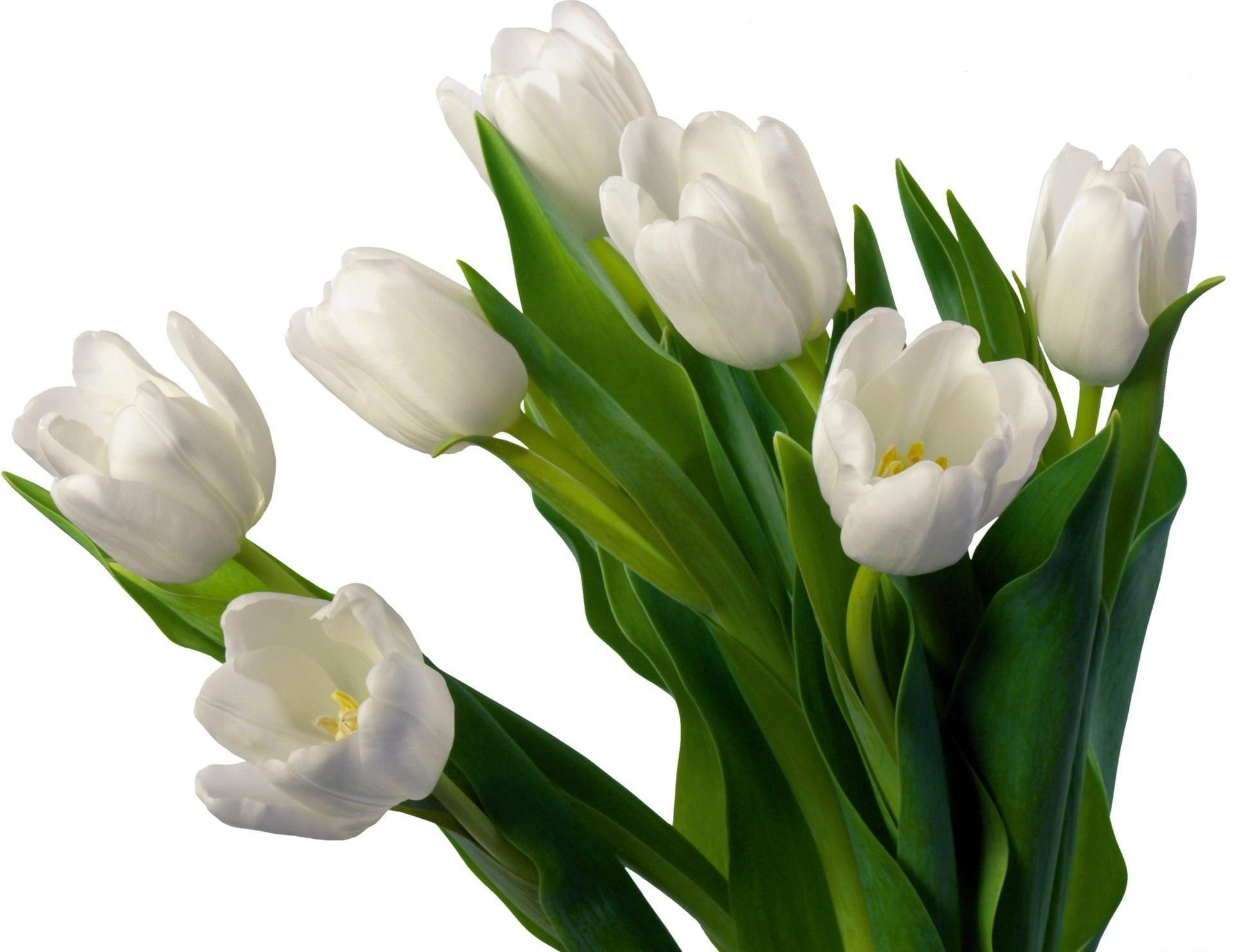 Wallpaper tulips flowers flowerbed flower white background tulips flowers flowerbed flower white background mightylinksfo Images