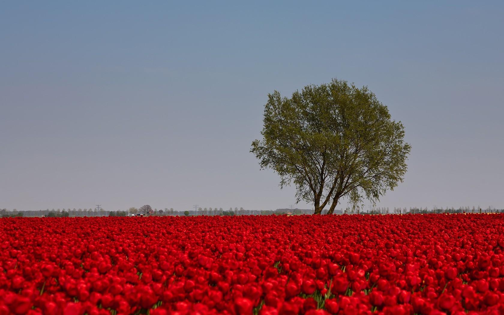 поле из красных роз картинки правильные вещи