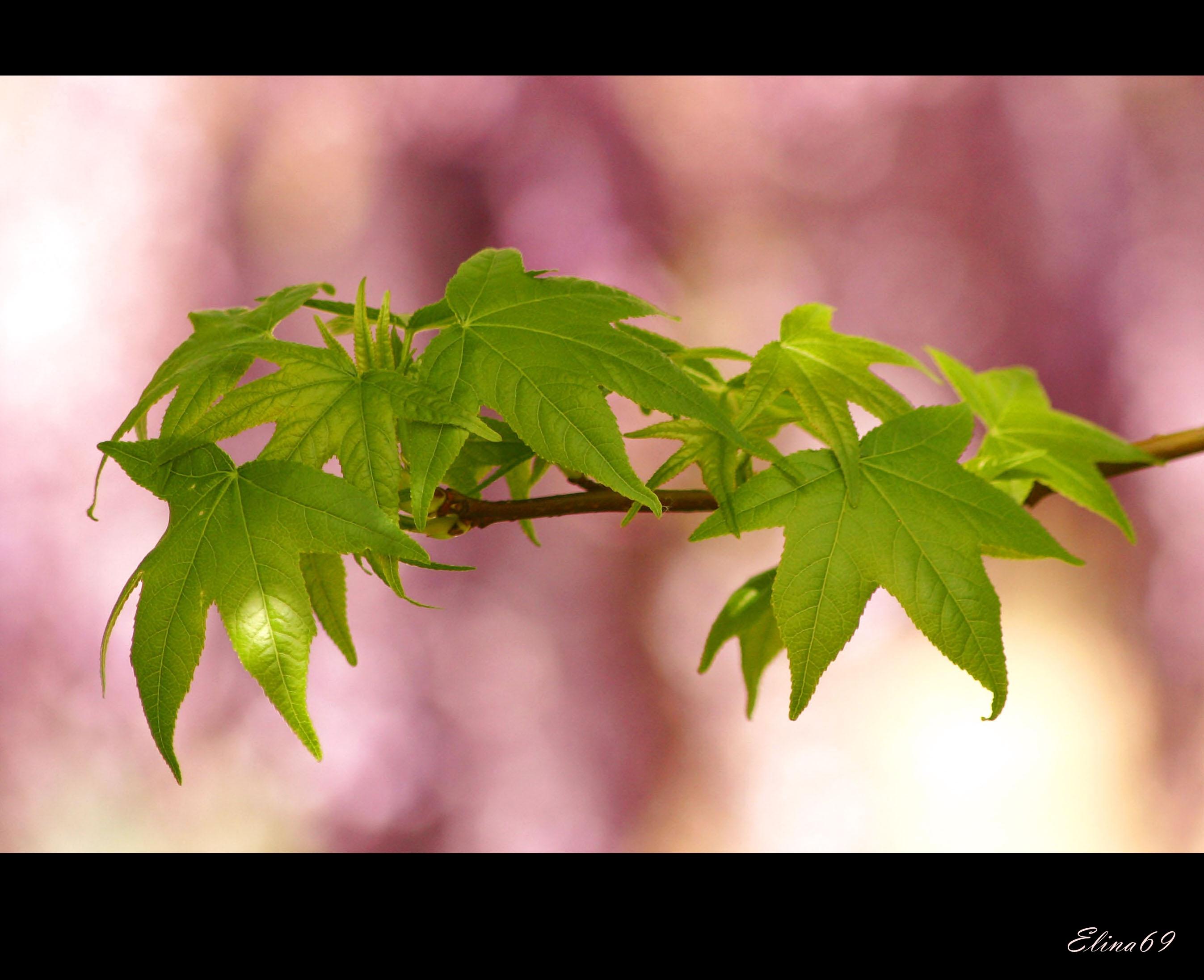 Sfondi Verde Foglie Bokeh Rosa Fragola Acero Glicina Sesto