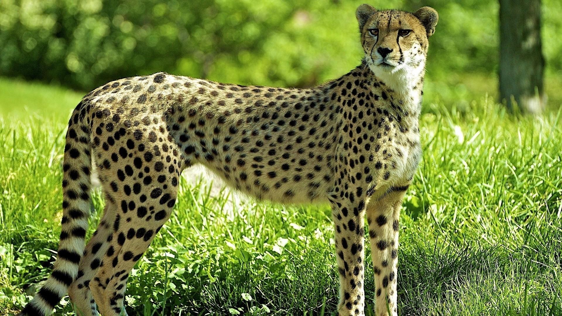 образцы гепард кошки картинки поговорим наиболее