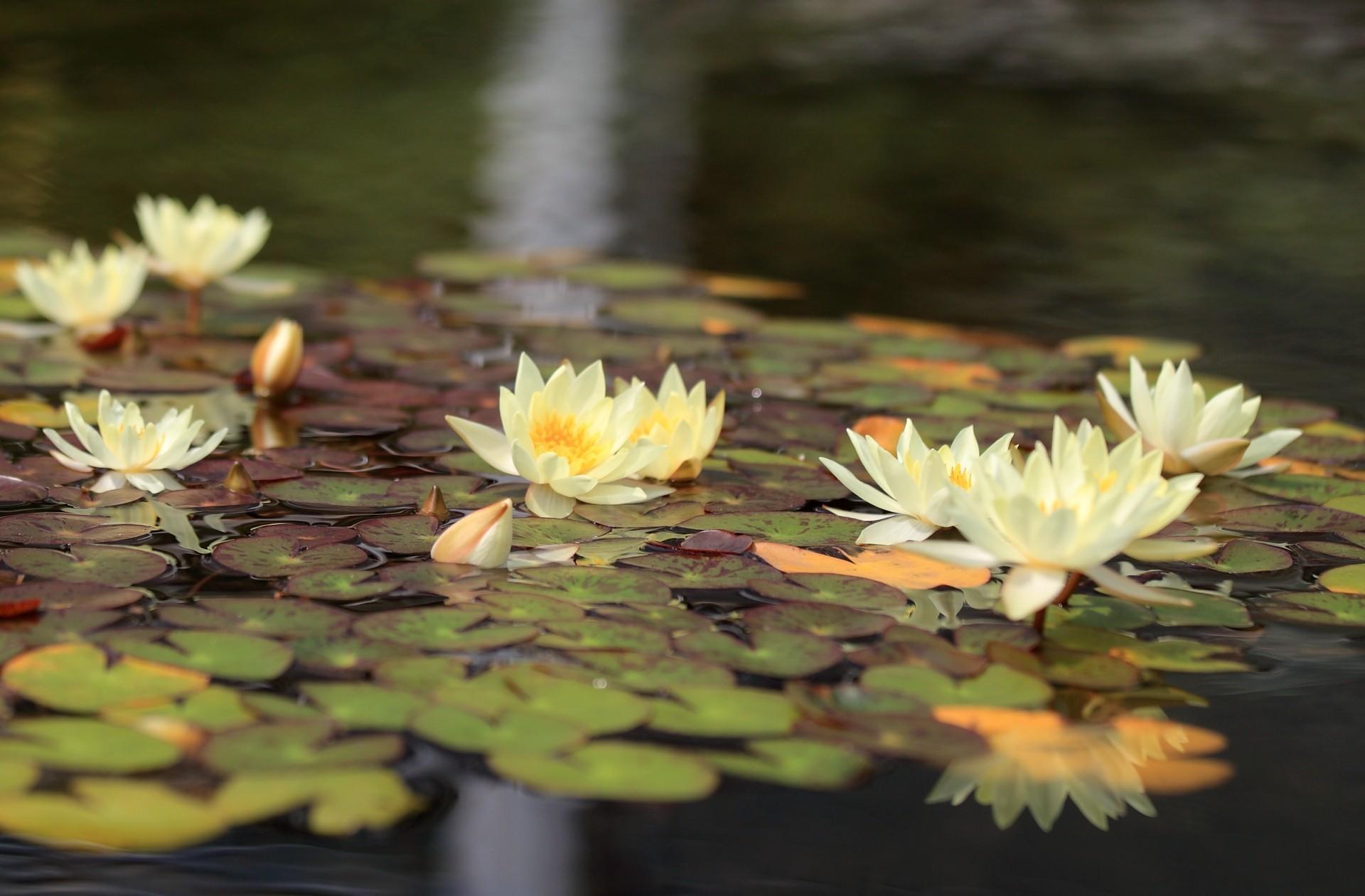 Лилии в воде картинки