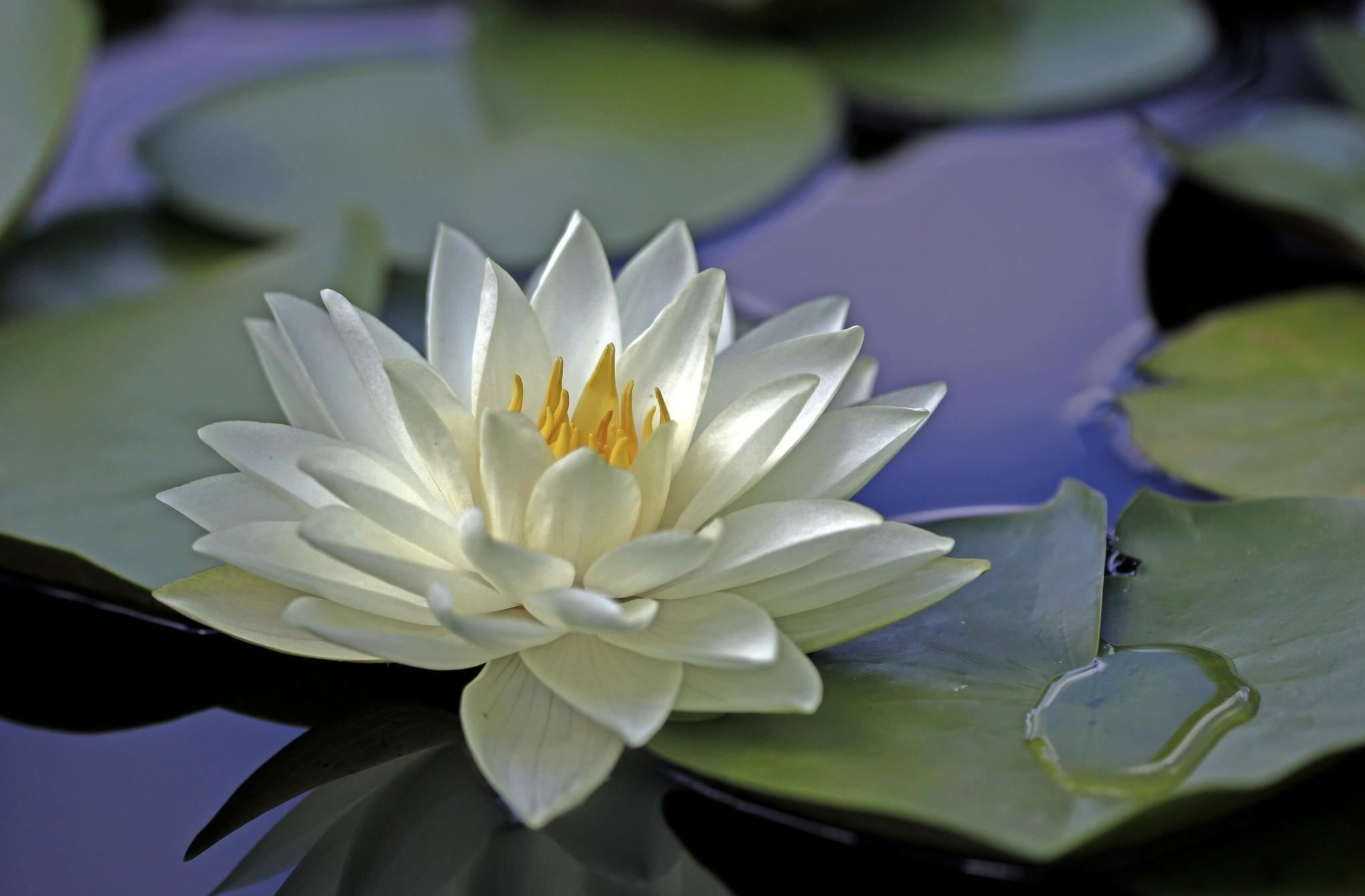 фото картинки белых лилий на воде приготовления грибной поляны