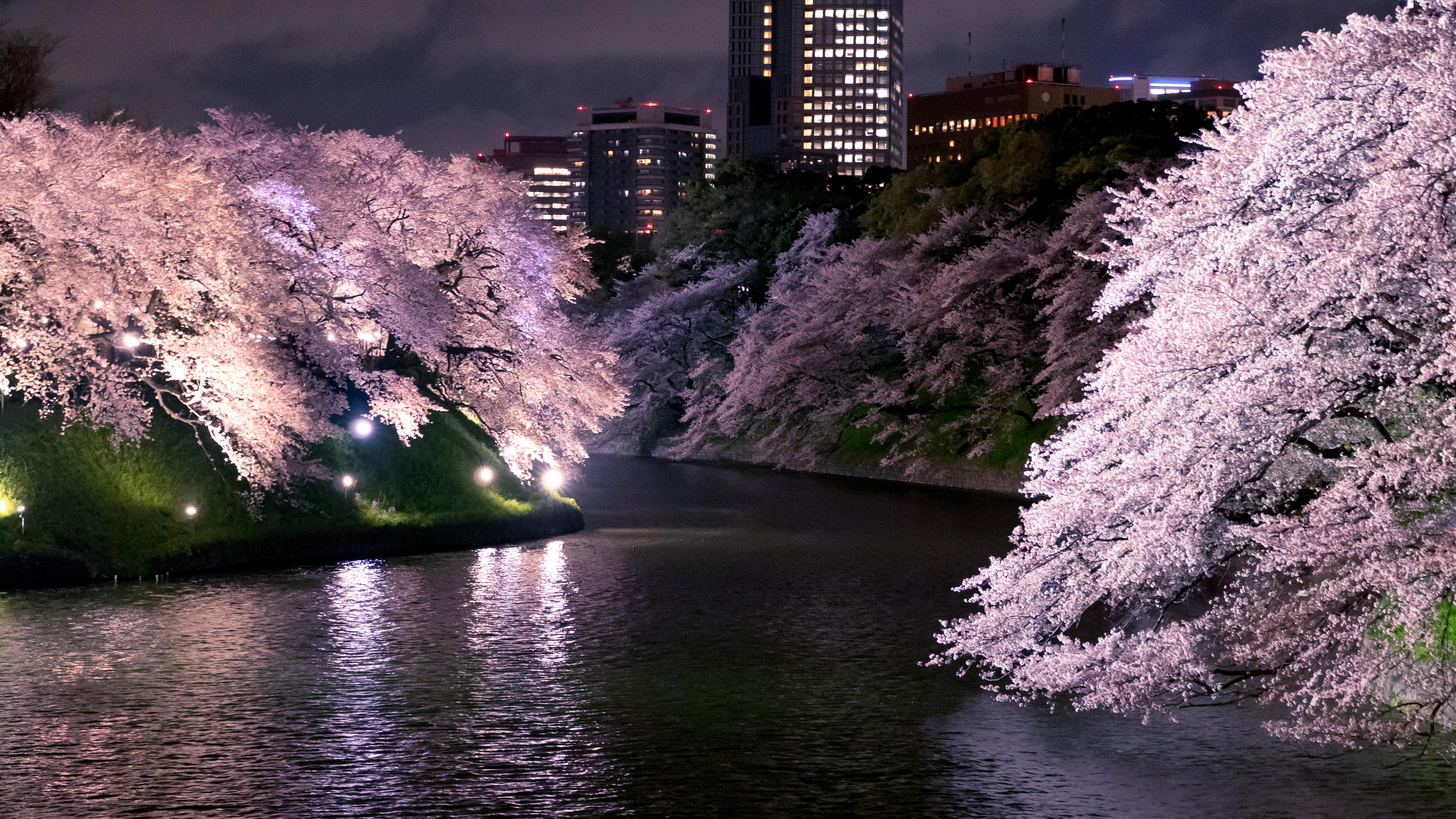 67 wallpaper night cherry blossom referrals best