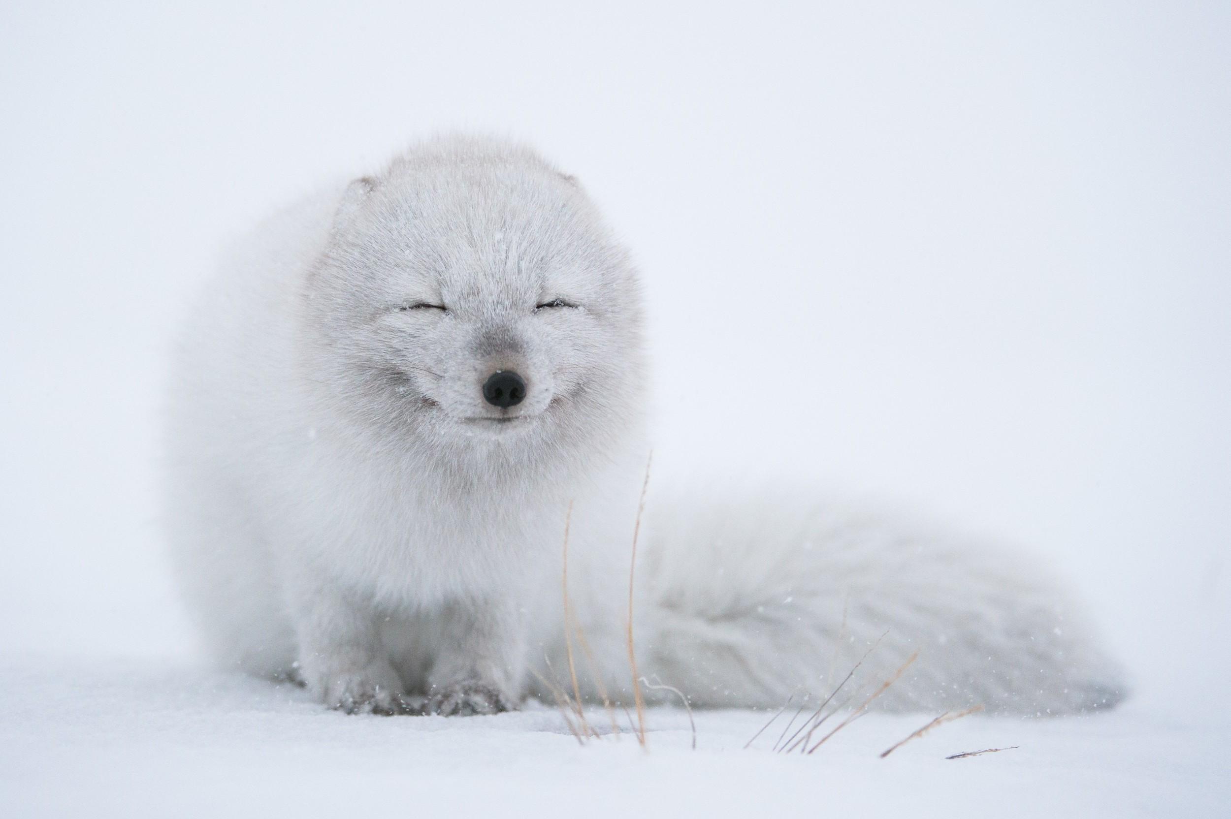 Sfondi Bianca Animali La Neve Inverno Natura Pelliccia