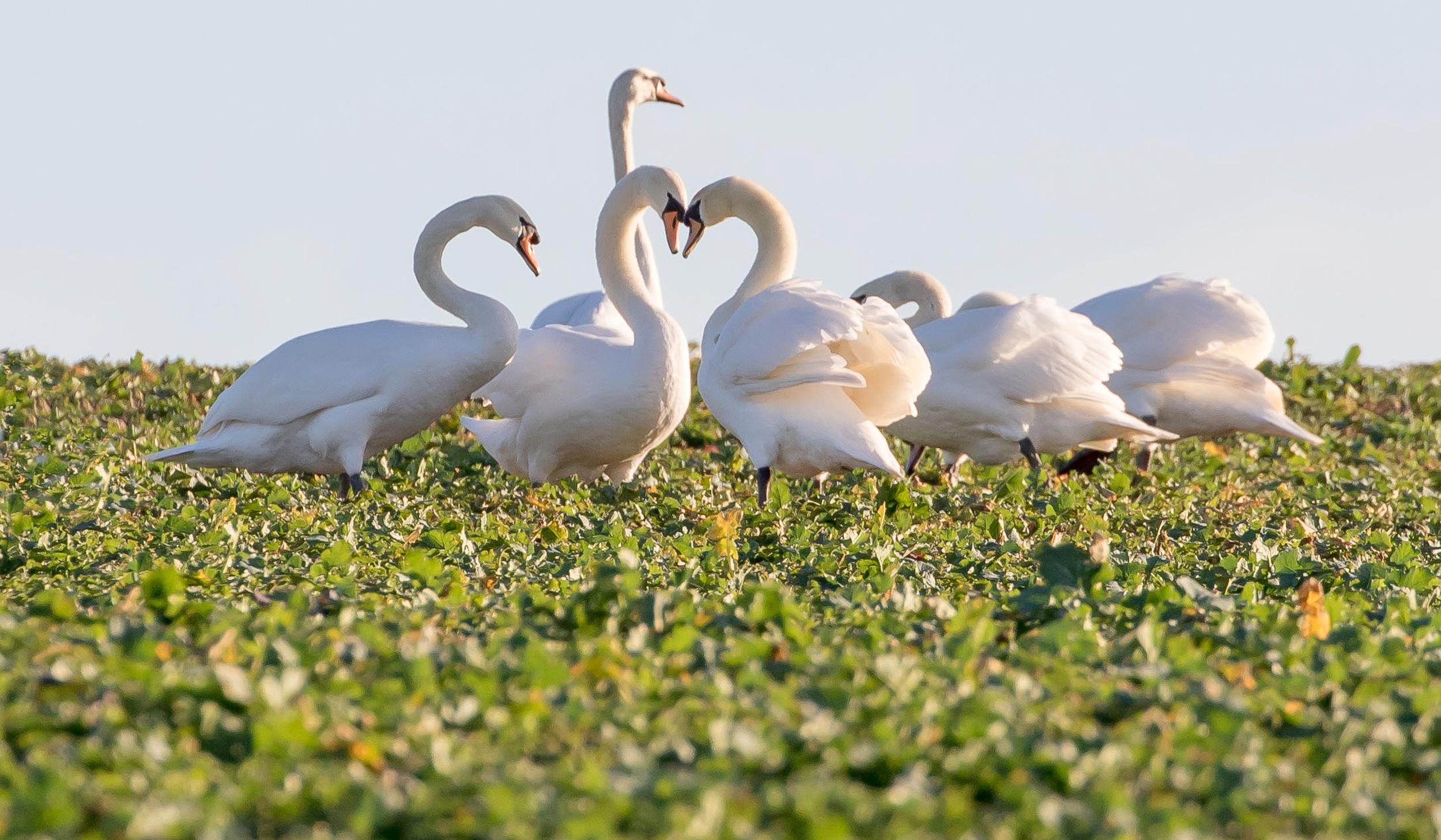 Wallpaper : white, birds, animals, nature, love, heart