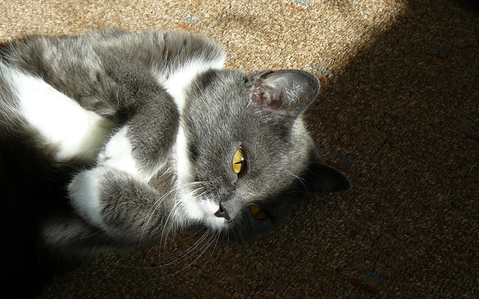 Кошки укушенные пчелами фото этих условных