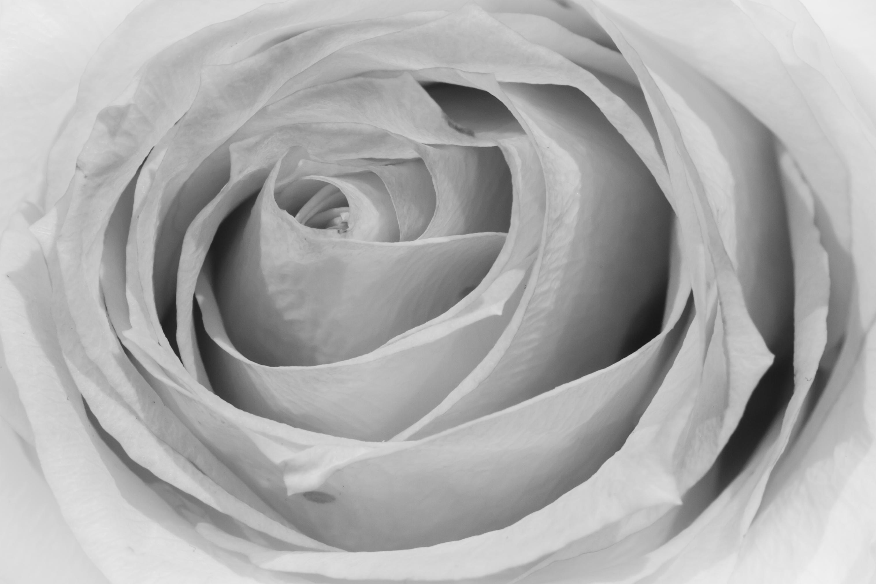 Fond D Ecran Monochrome La Nature La Photographie Macro Canon Rose Noir Lundi Macromondes Fleur Bw Flore Negre Petale Fleur Blanc 7d Schwarz Papier Peint De L Ordinateur Noir Et Blanc Photographie Monochrome