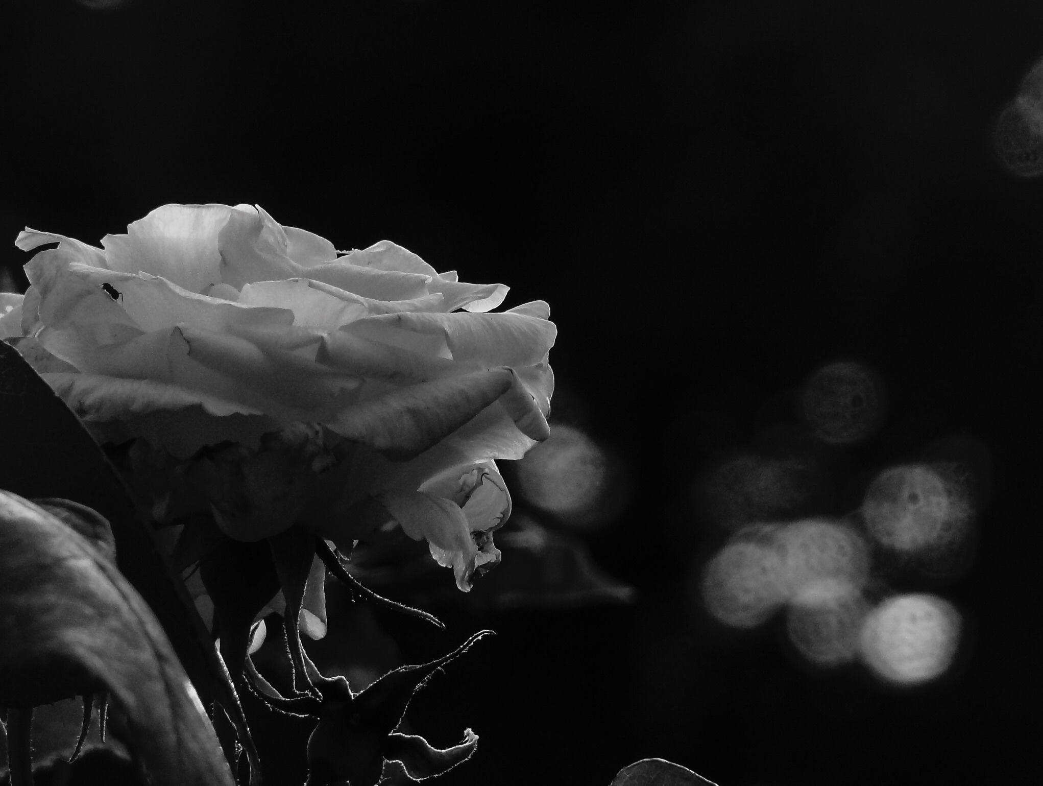 Обои белые с черными розами фото