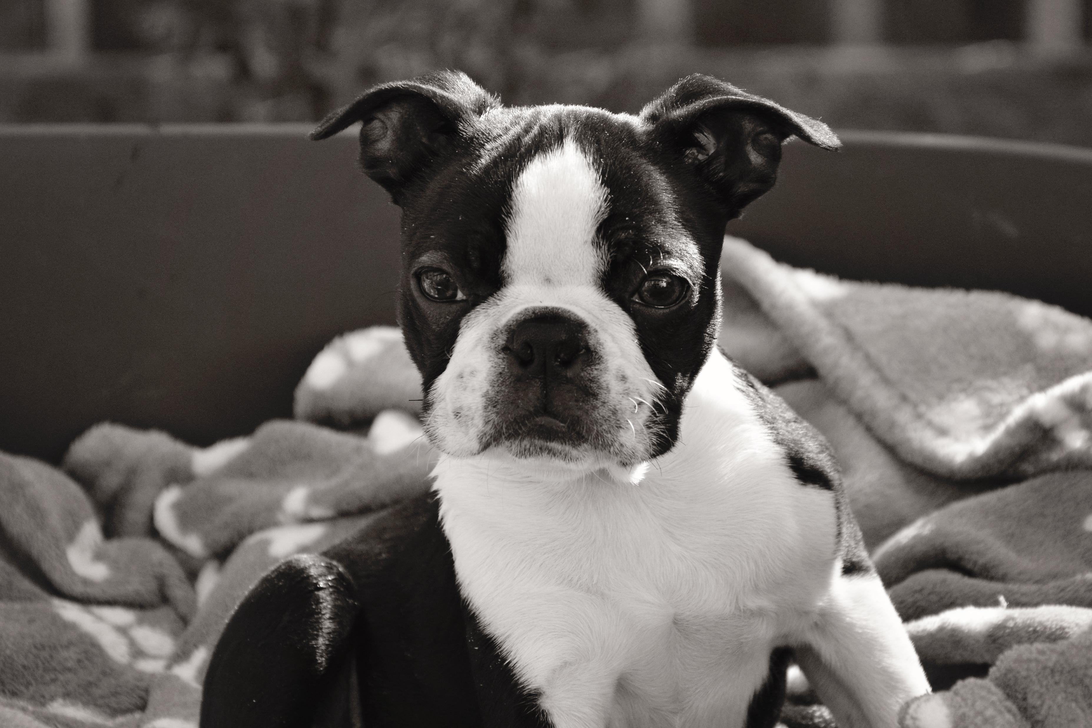 Wallpaper Portrait Nikon Pet Sally Boston Terrier