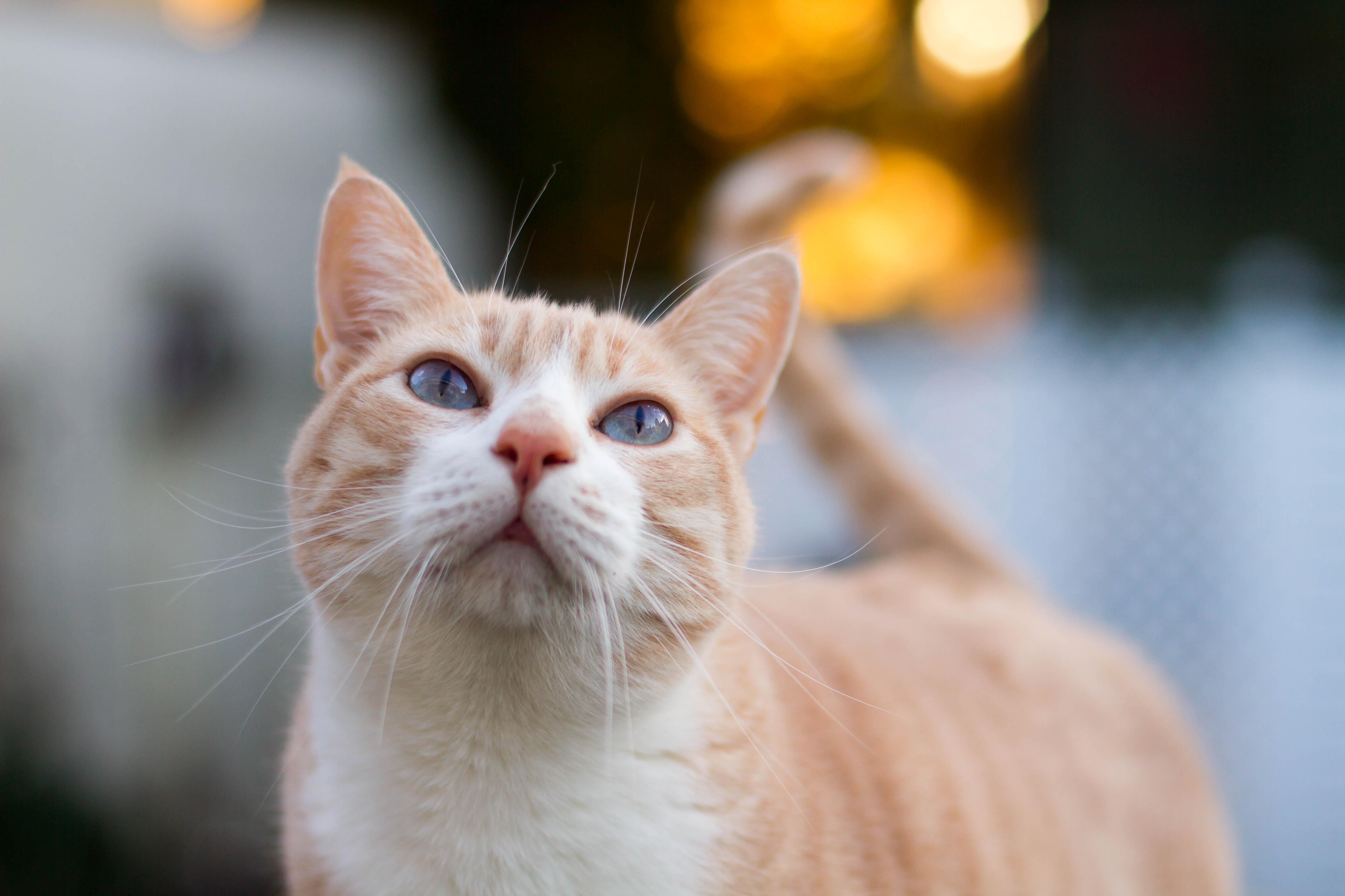Aegean Cat Orange