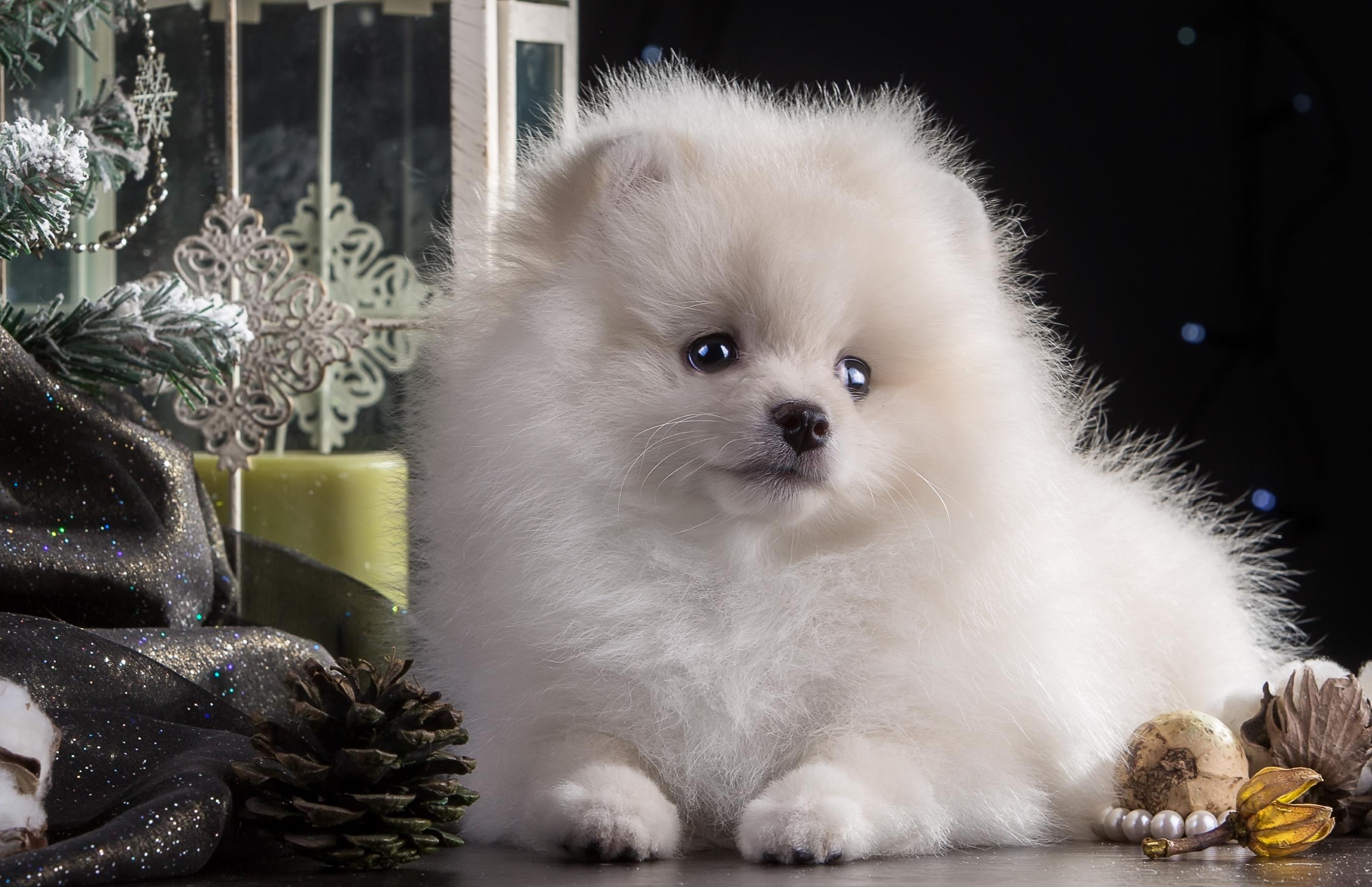 Wallpaper White Pomeranian Beautiful Puppy Vertebrate Dog