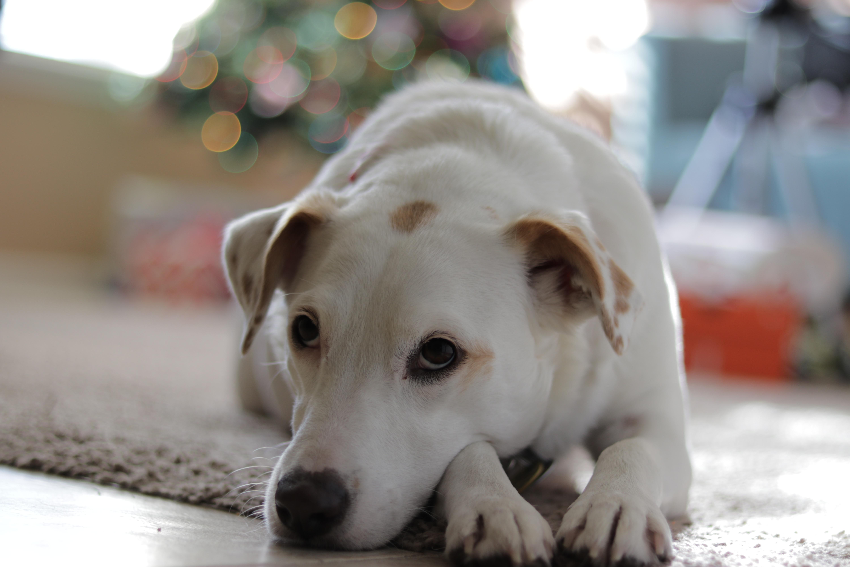 Wallpaper White Lies Jack Russell Terrier Puppy