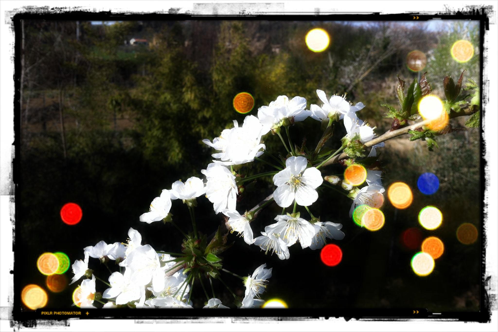 Fiori Jesi.Wallpaper White Flowers Italy Nature Red Reflection Green