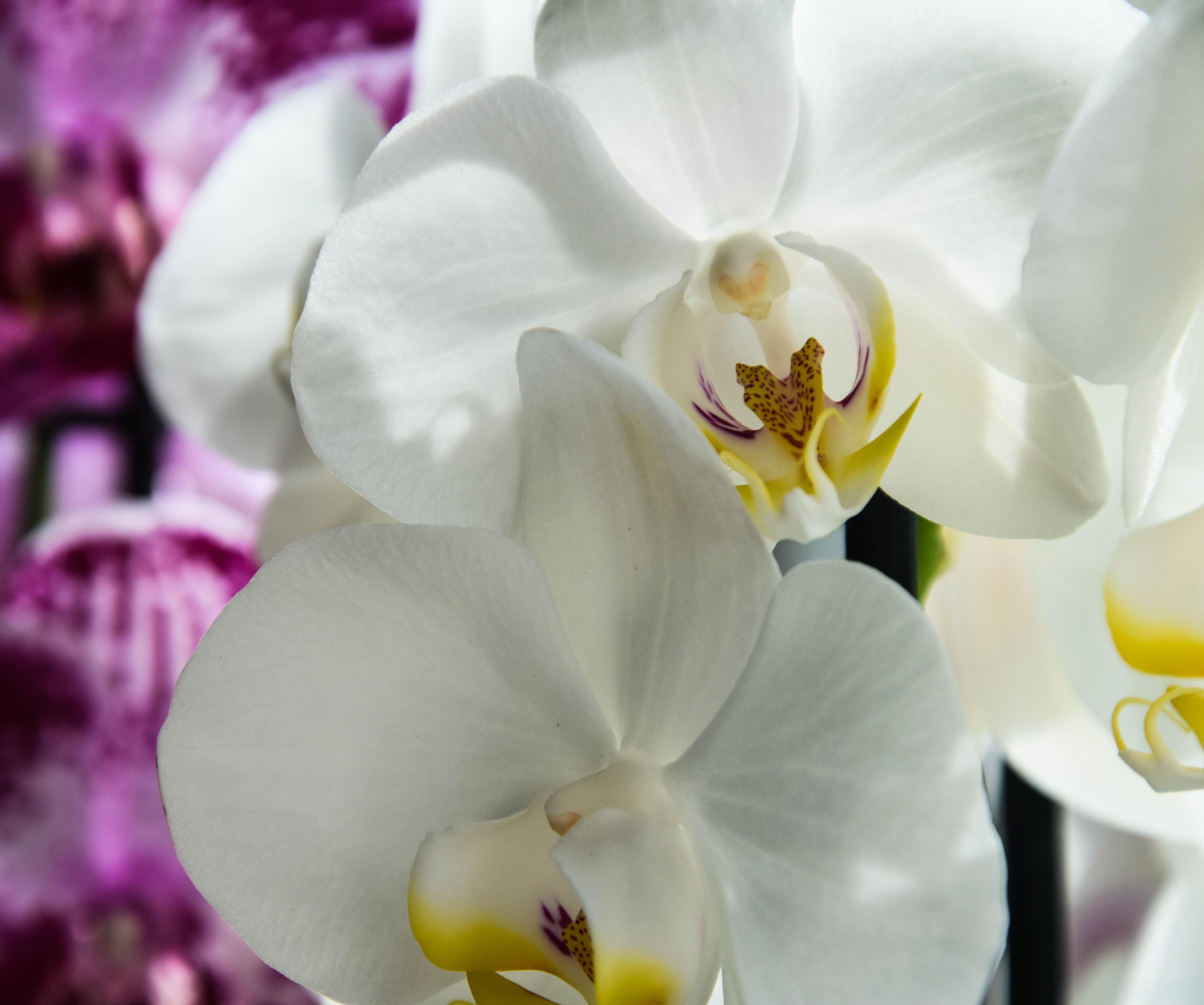 orchidee v