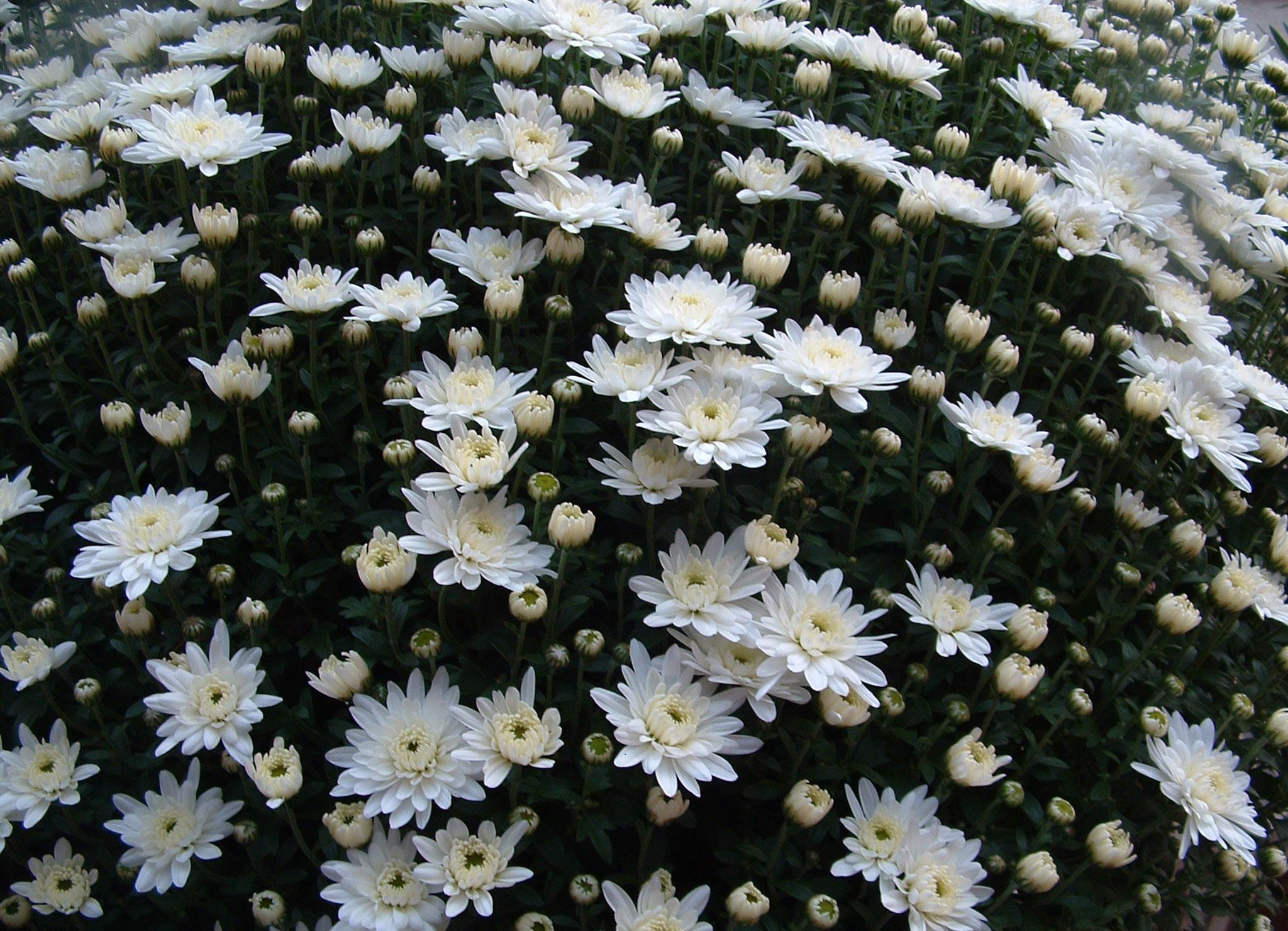 Wallpaper Putih Bunga Bunga Hijau Mekar Krisan