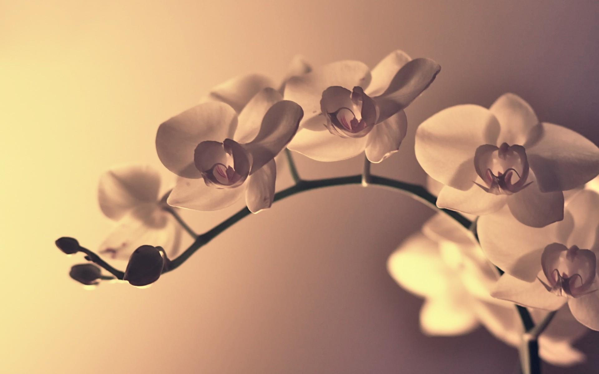 Sfondi : bianca fiori orchidee piante ramo fiorire leggero