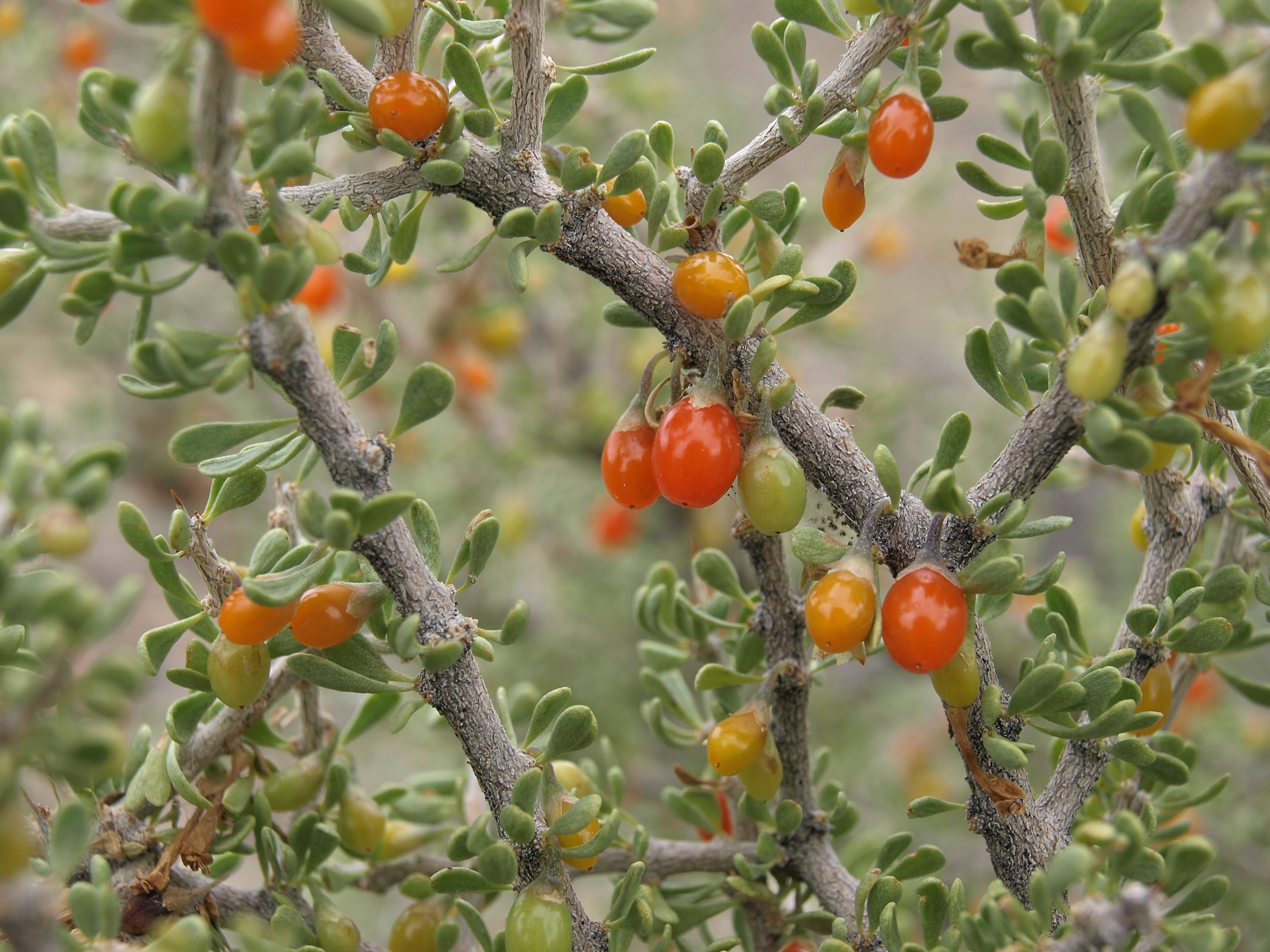 Fond d 39 cran blanc fleurs rouge fruit d sert - Arbuste fleur rouge printemps ...