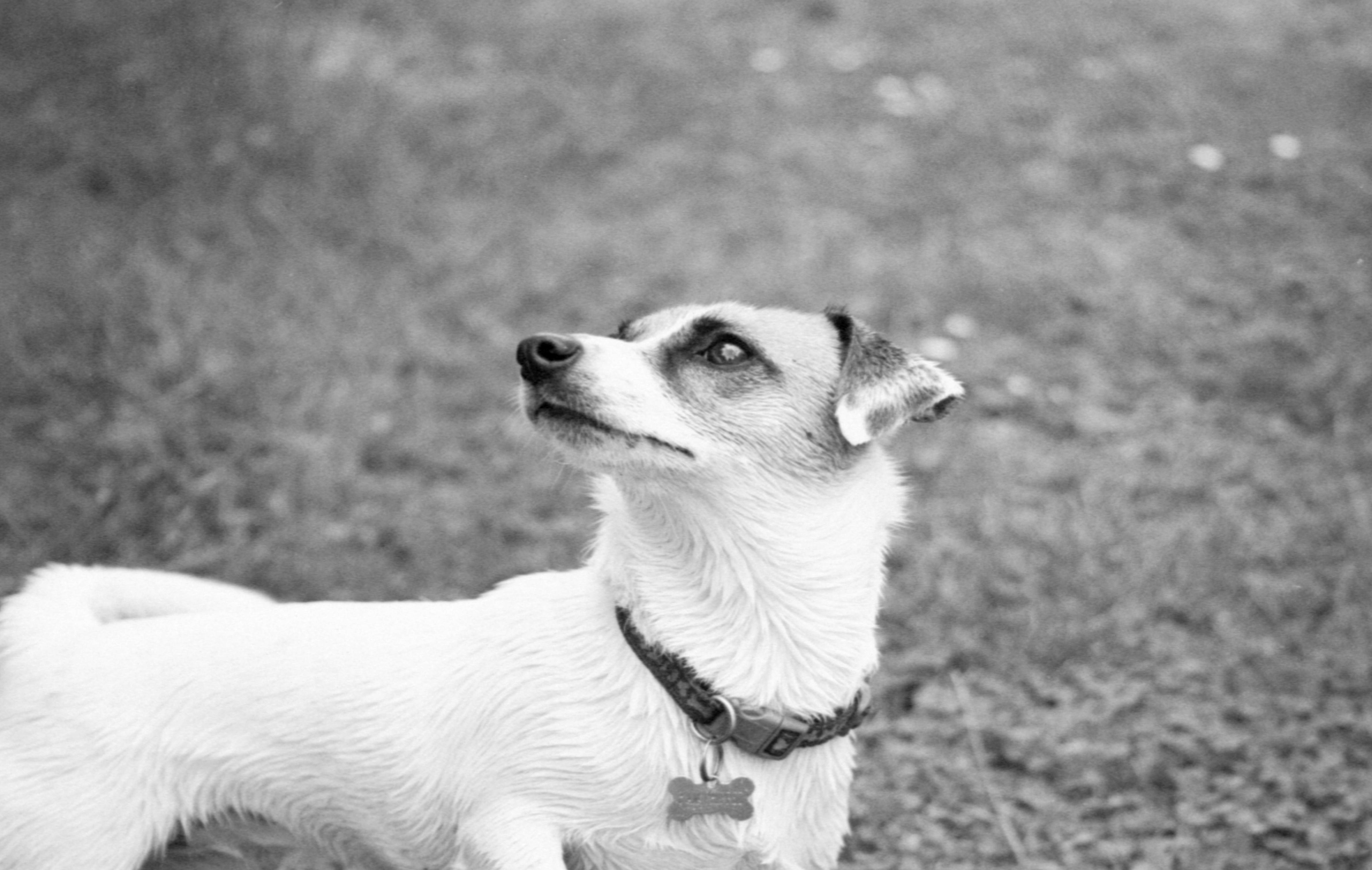 デスクトップ壁紙 ジャックラッセルテリア 子犬 黒と白 モノクロ