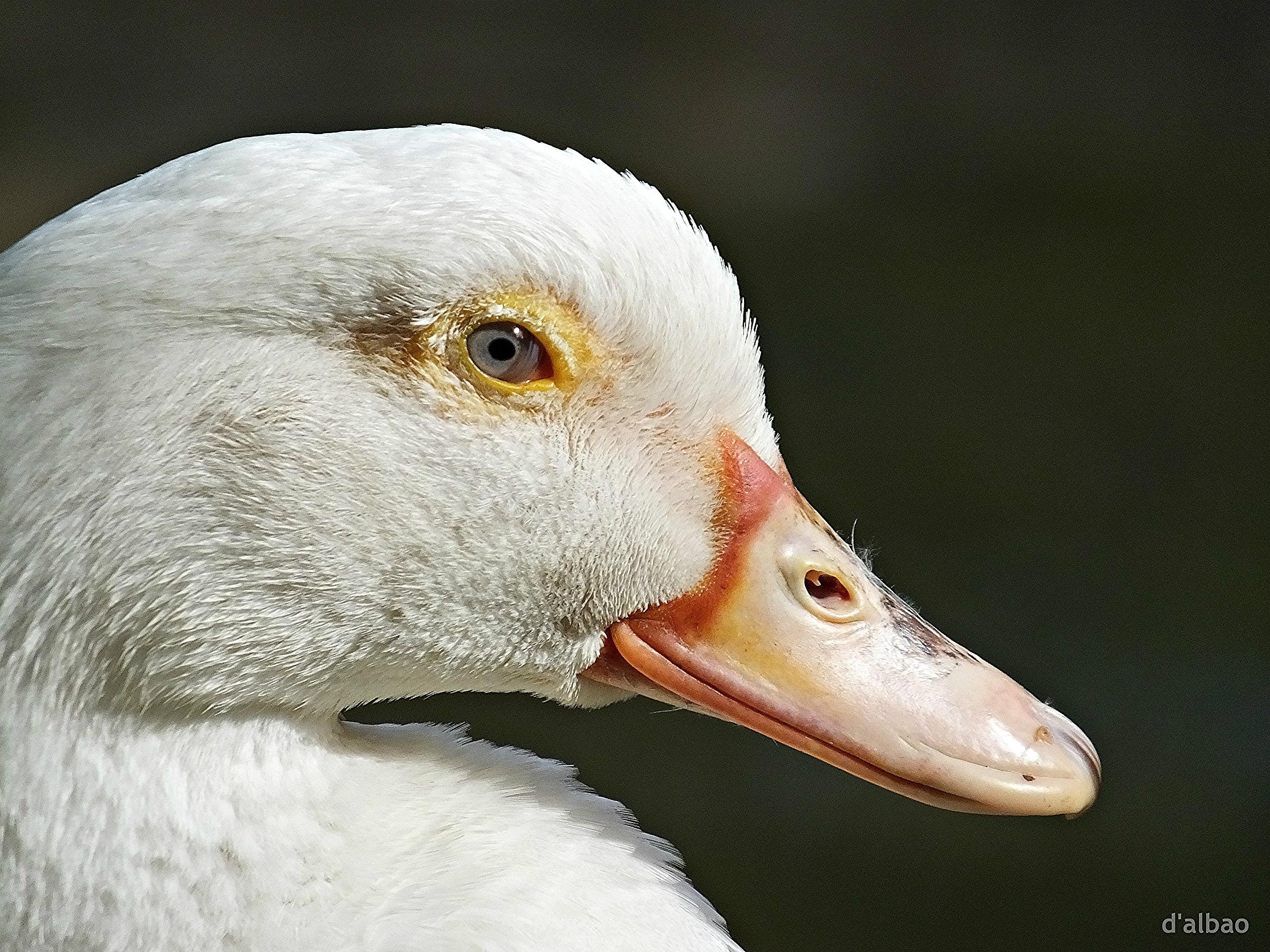 Wallpaper Putih Profil Bulu Margasatwa Bebek Paruh