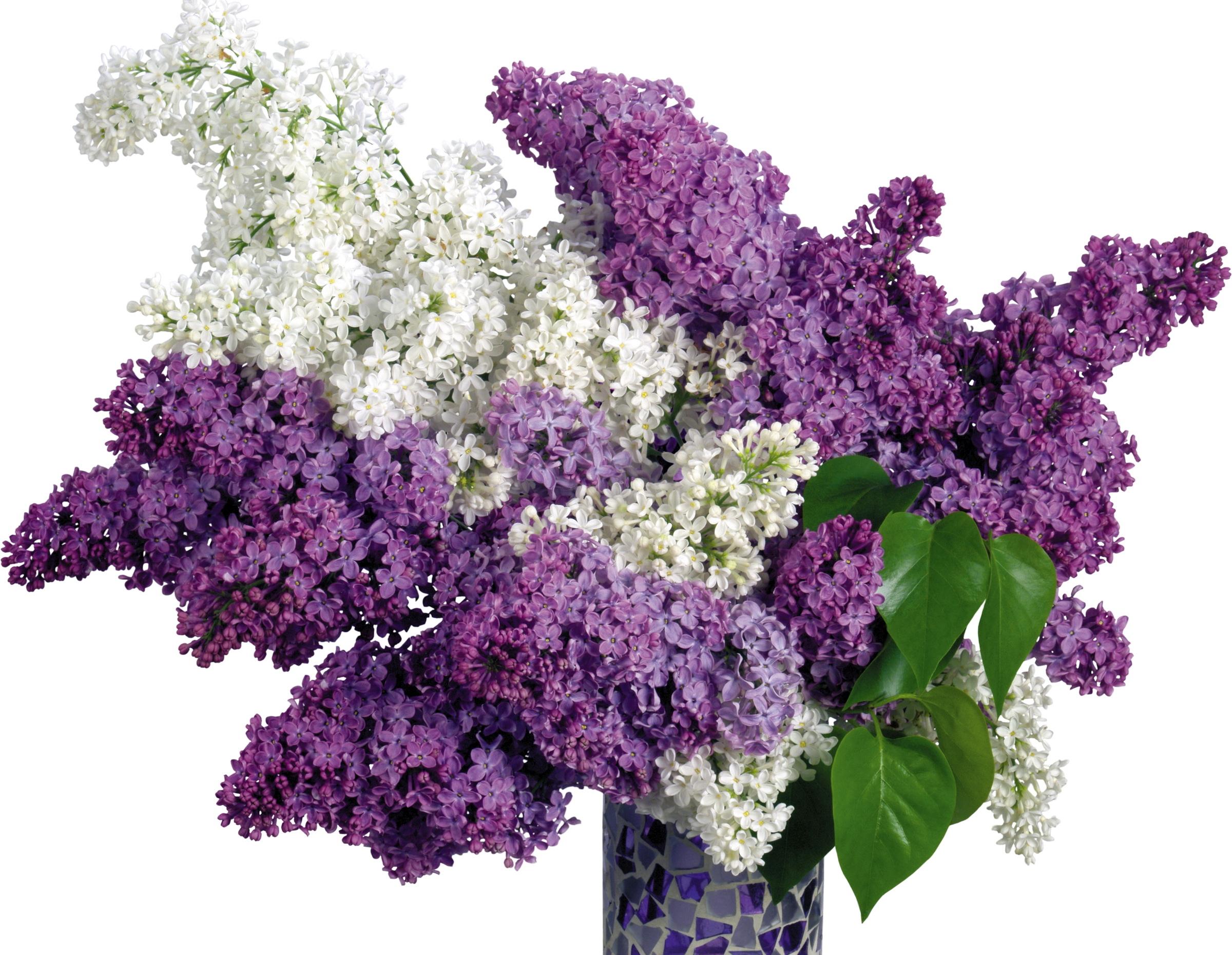 Wallpaper White Purple Branch Blossom Spring Herb Lilac
