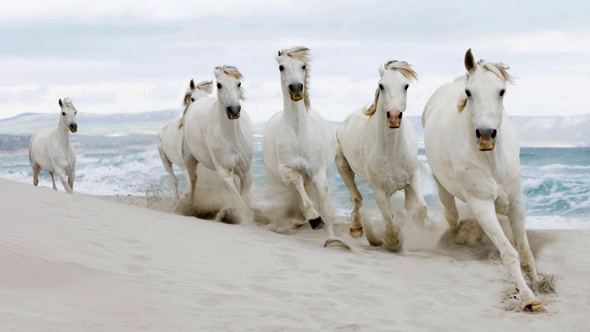 Wallpaper White Sea Sand Snow Winter Run Horses Herd