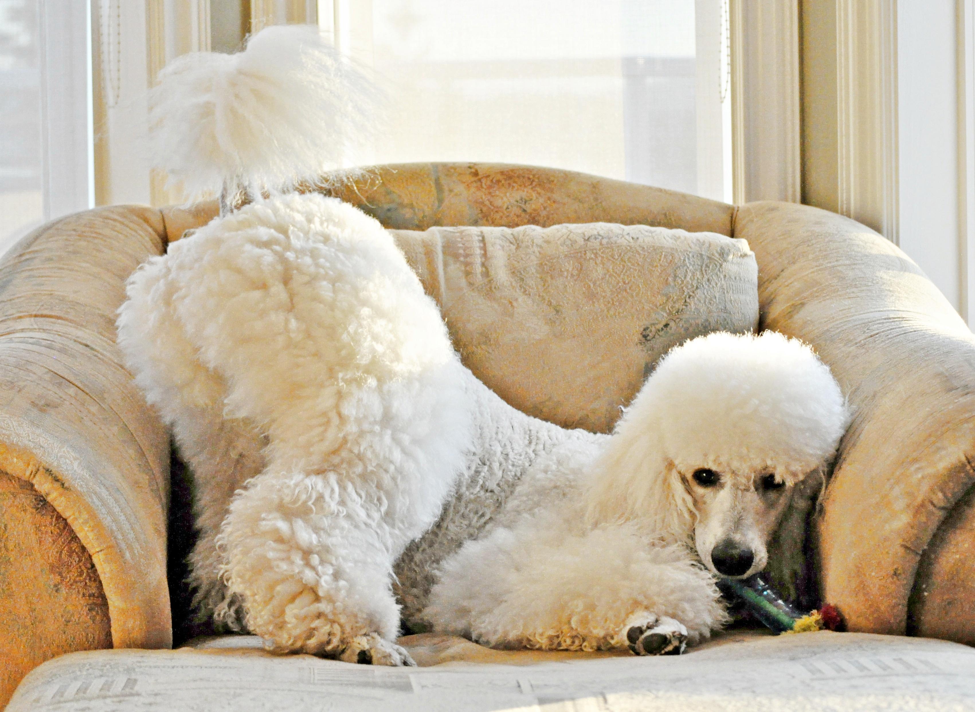 วอลเปเปอร์ สีขาว หาง เตียง เก้าอี้ หมา ครีม เลาจน์