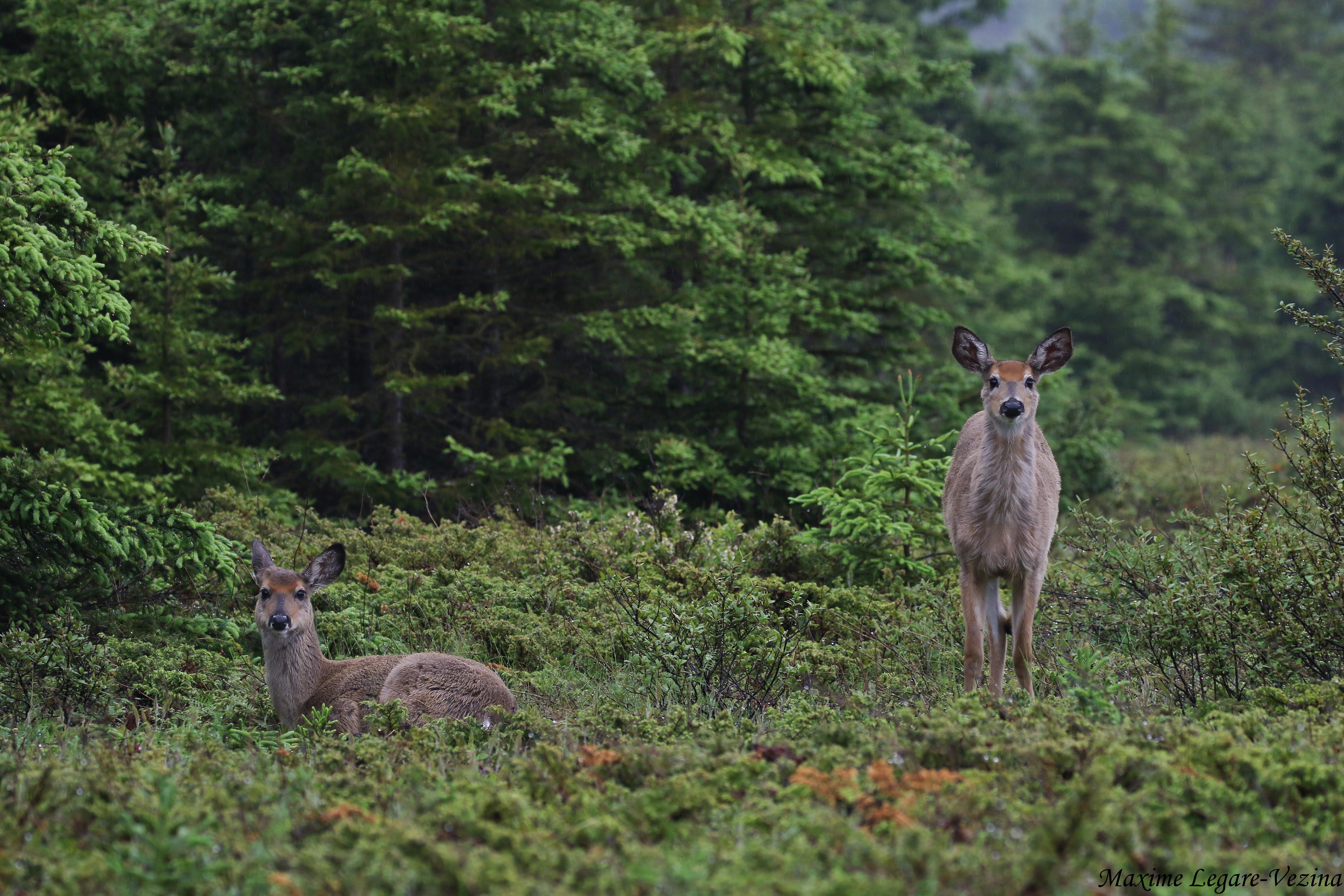 Wild Nature Animal Fauna Canon Wildlife Mammals Biodiversity Faune Sepaq Mammifere Parcsquebec