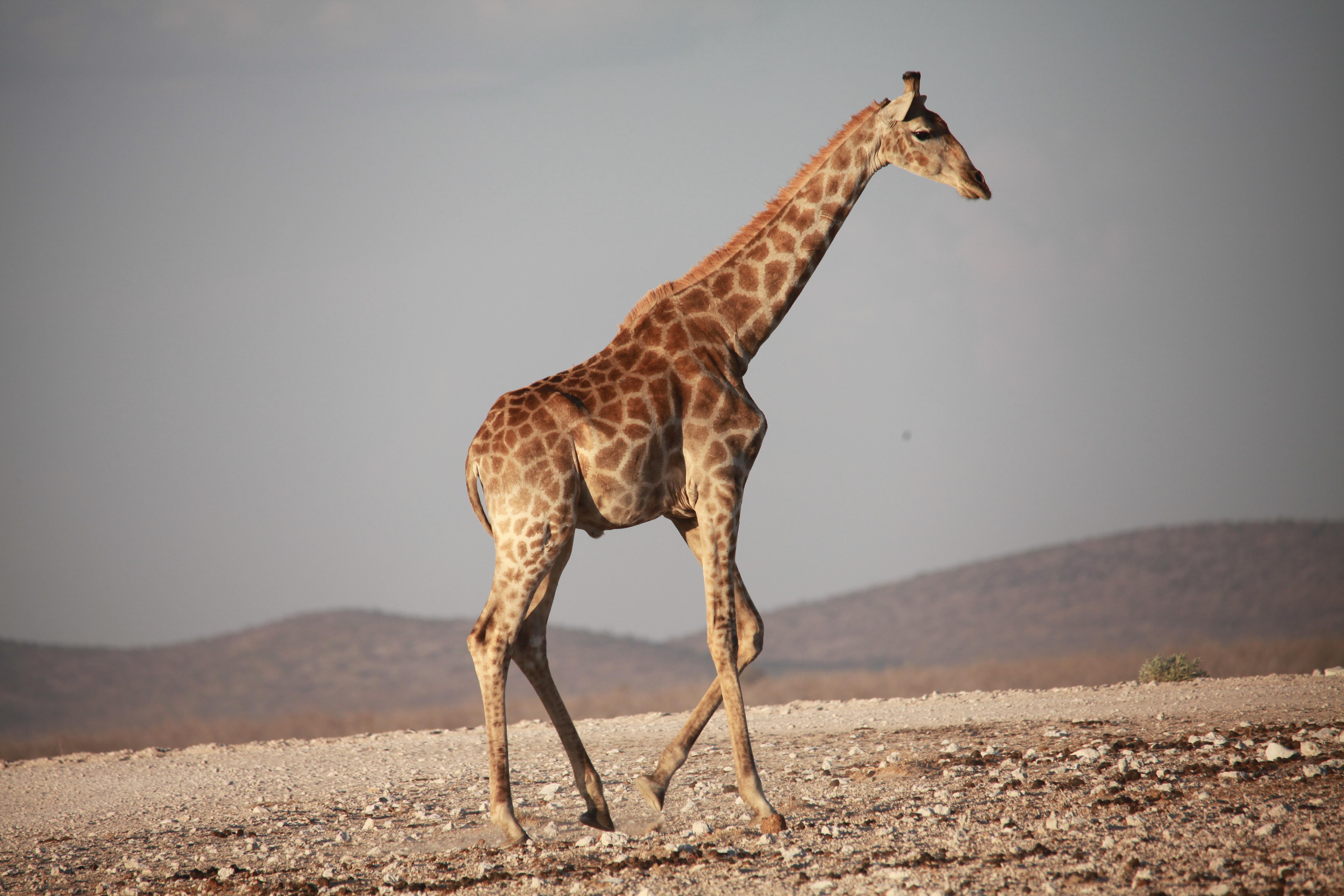 デスクトップ壁紙 野生動物 アフリカ 歩く キリン 動物相 哺乳類 脊椎動物 ギラ科 サバンナ マストンウマ 5616x3744 Coolwallpapers デスクトップ壁紙 Wallhere