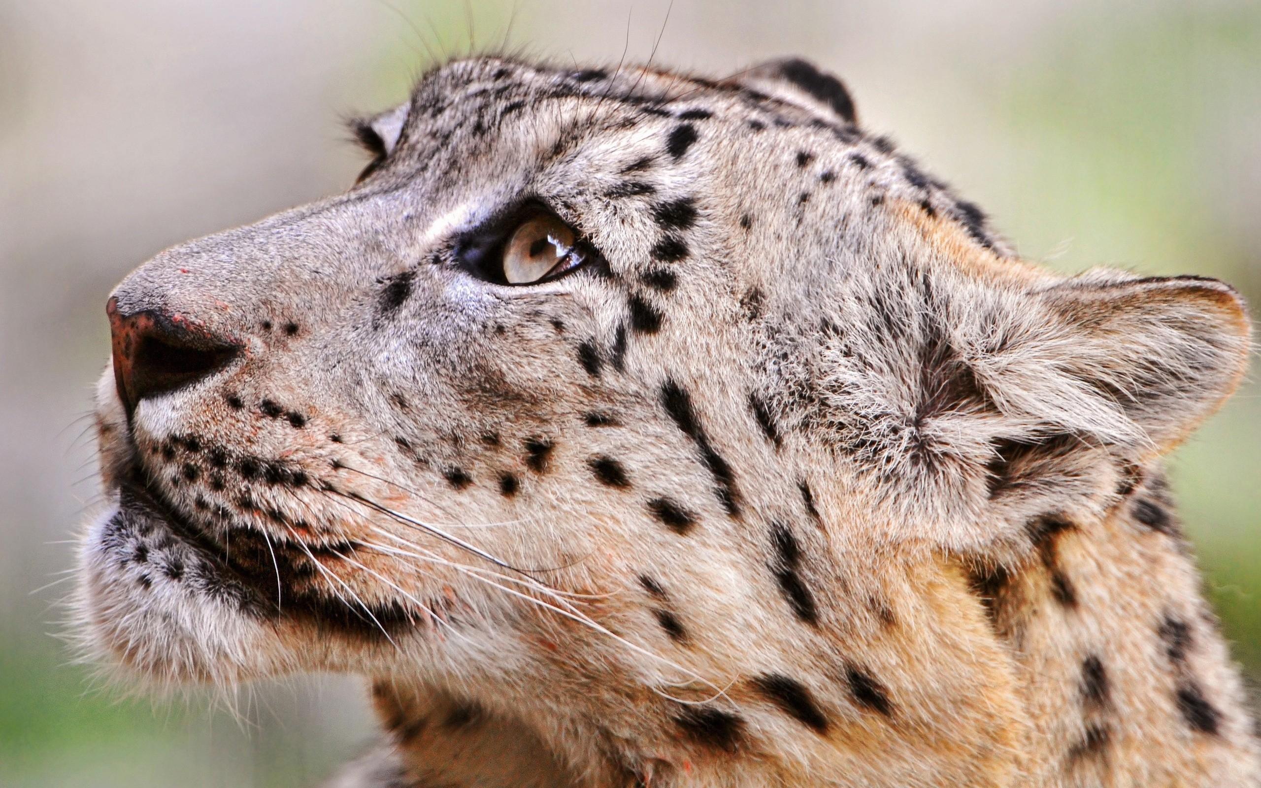 Jaguar Predator Black Animal Muzzle Art Wallpaper: Wallpaper : Wildlife, Big Cats, Whiskers, Ocelot, Jaguar