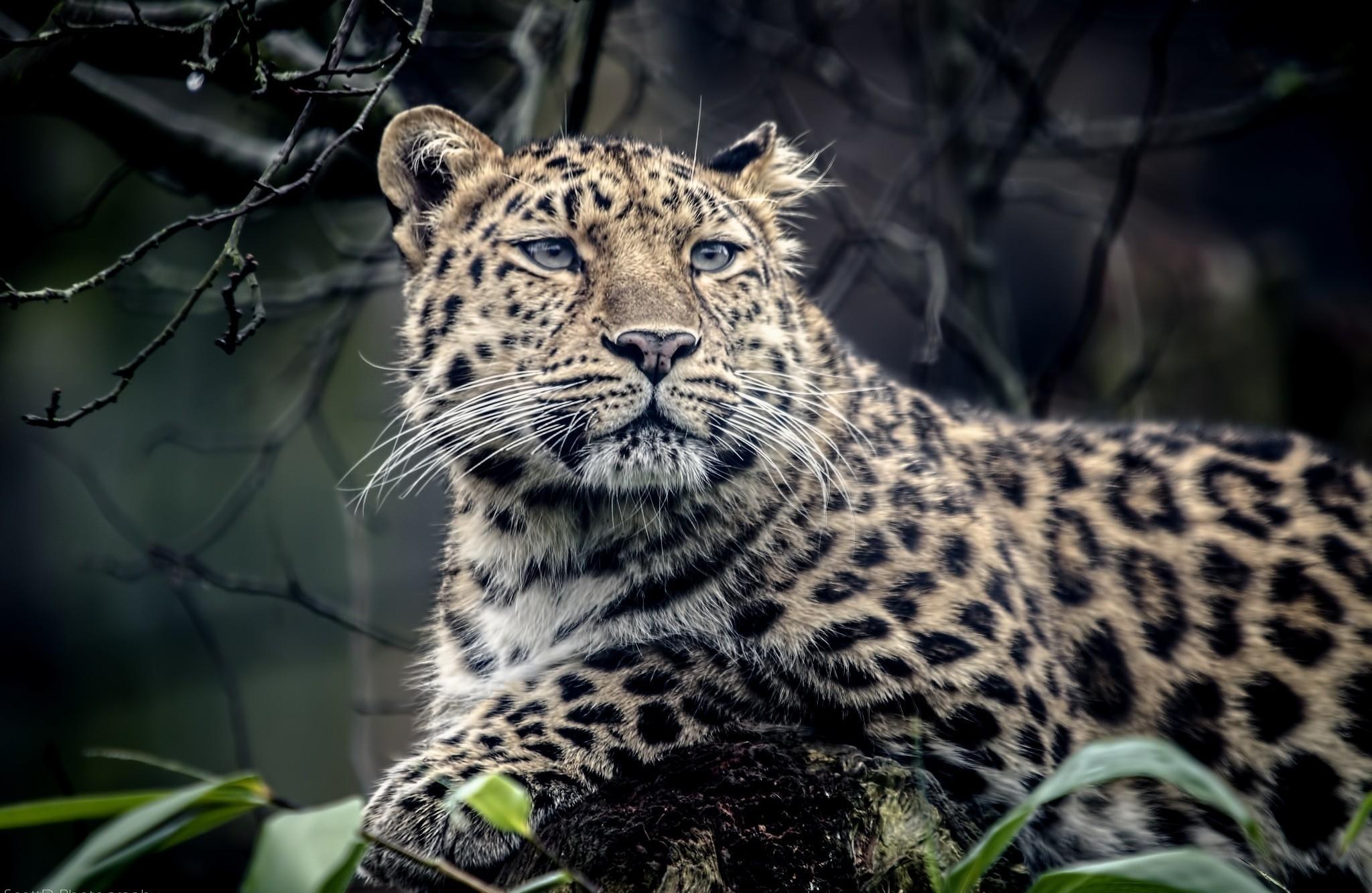 wildlife sadness big cats Zoo whiskers leopard Jaguar snow leopard look predator fauna mammal vertebrate cat