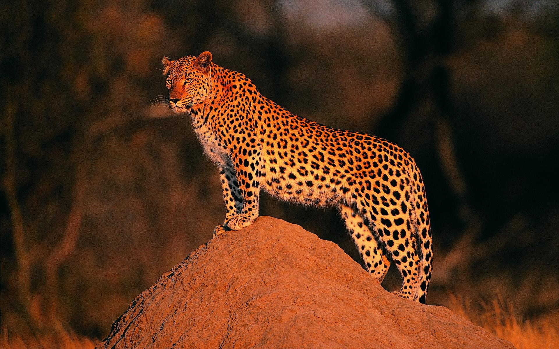 parambi leopard - HD1920×1080