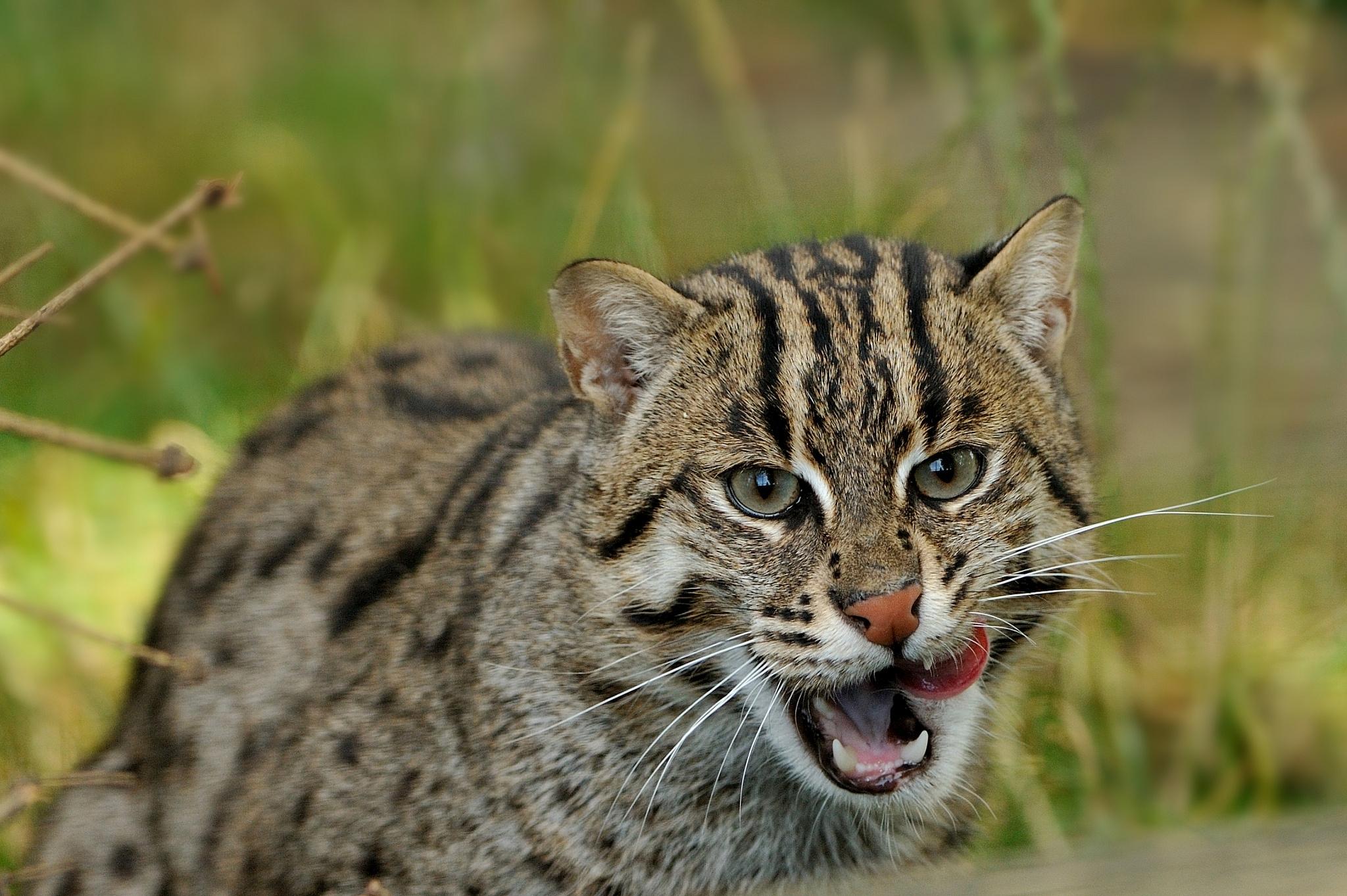дикие кошки фото и названия в природе