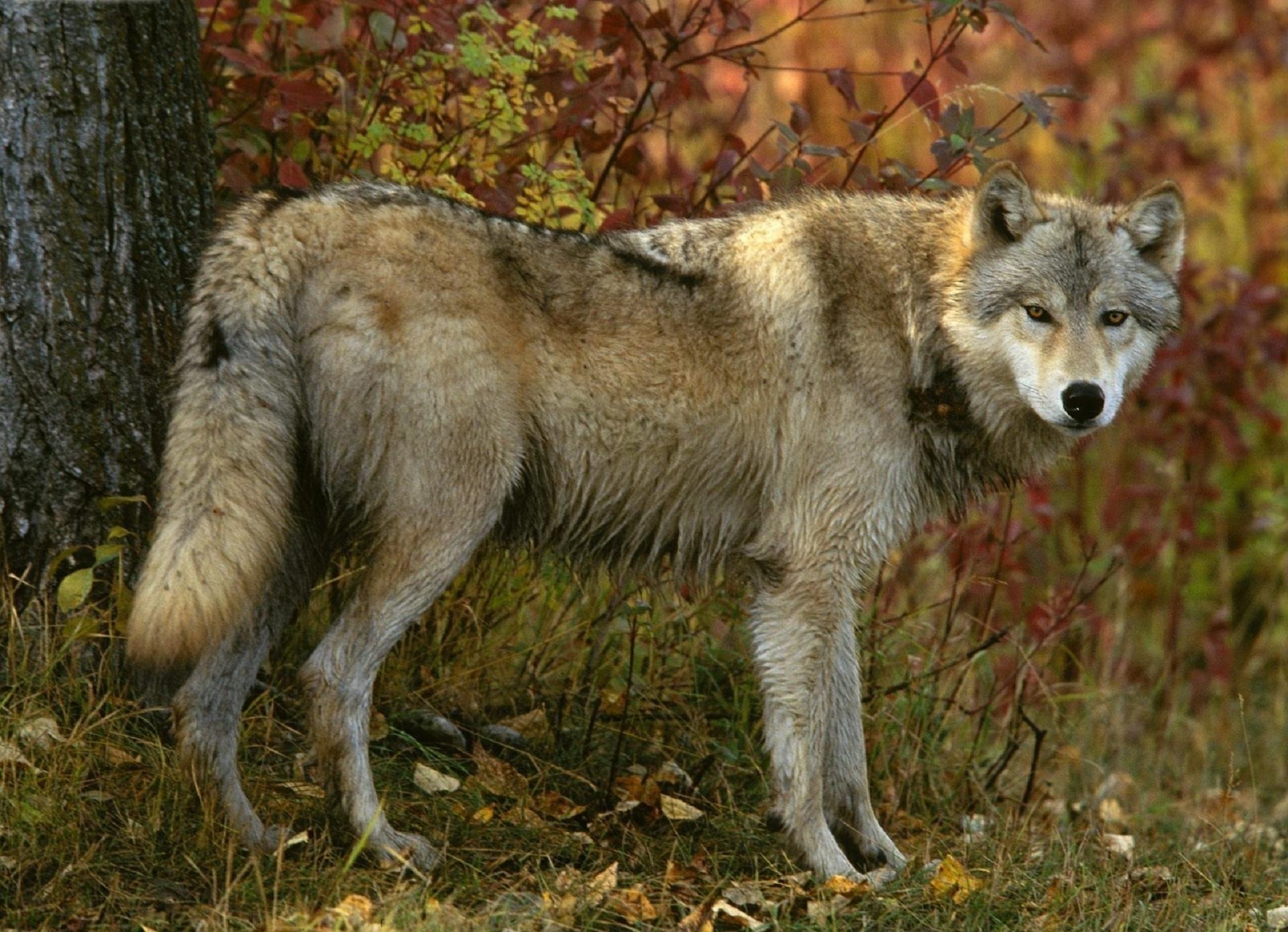 Волки в лесах картинки фото