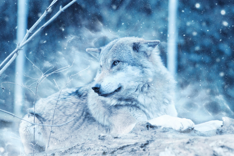 волчица зимой картинки том, как