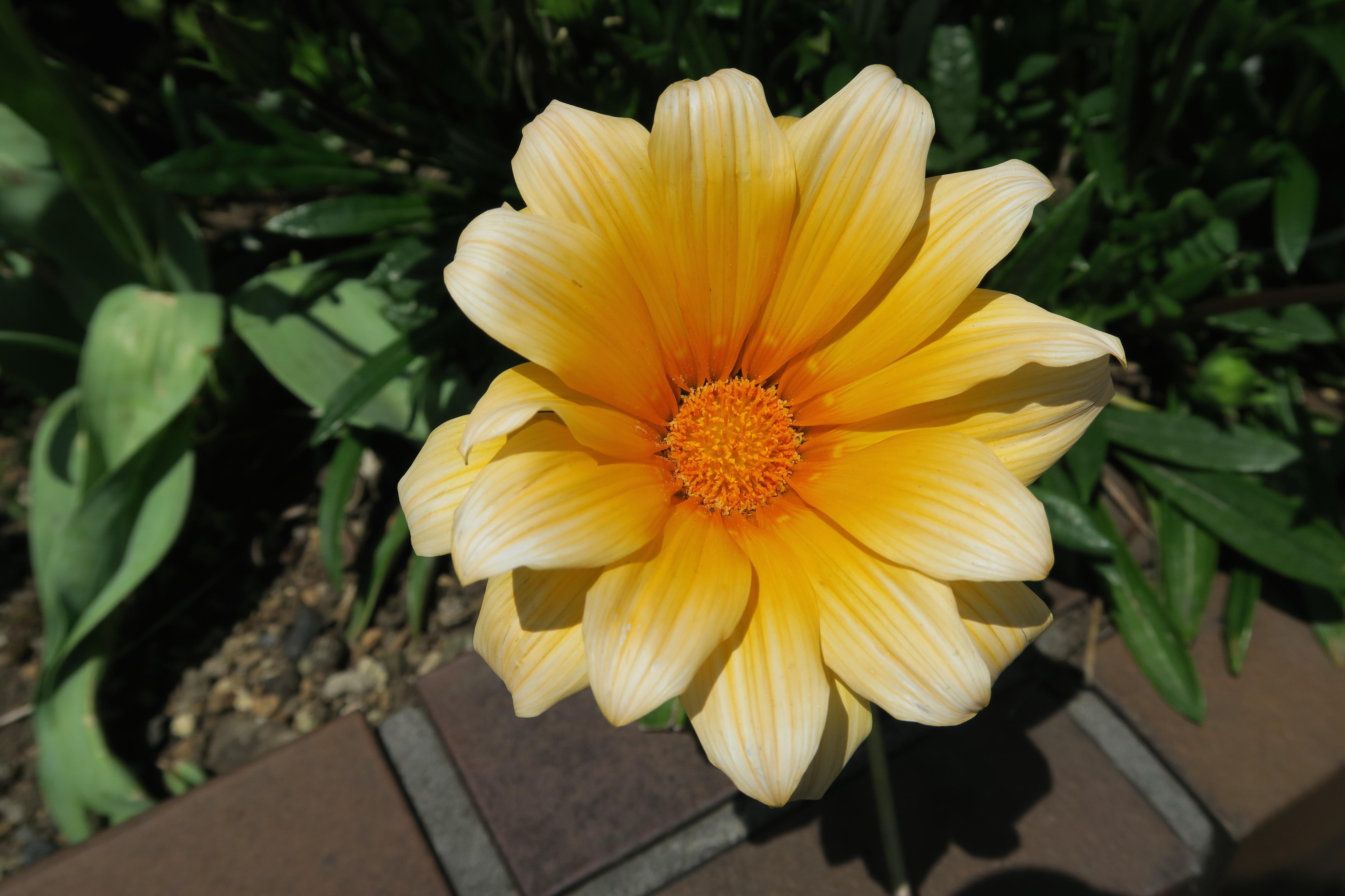 fond d 39 cran jaune canon tokyo fleur flore p tale powerhot g7x nishimagome botanique. Black Bedroom Furniture Sets. Home Design Ideas
