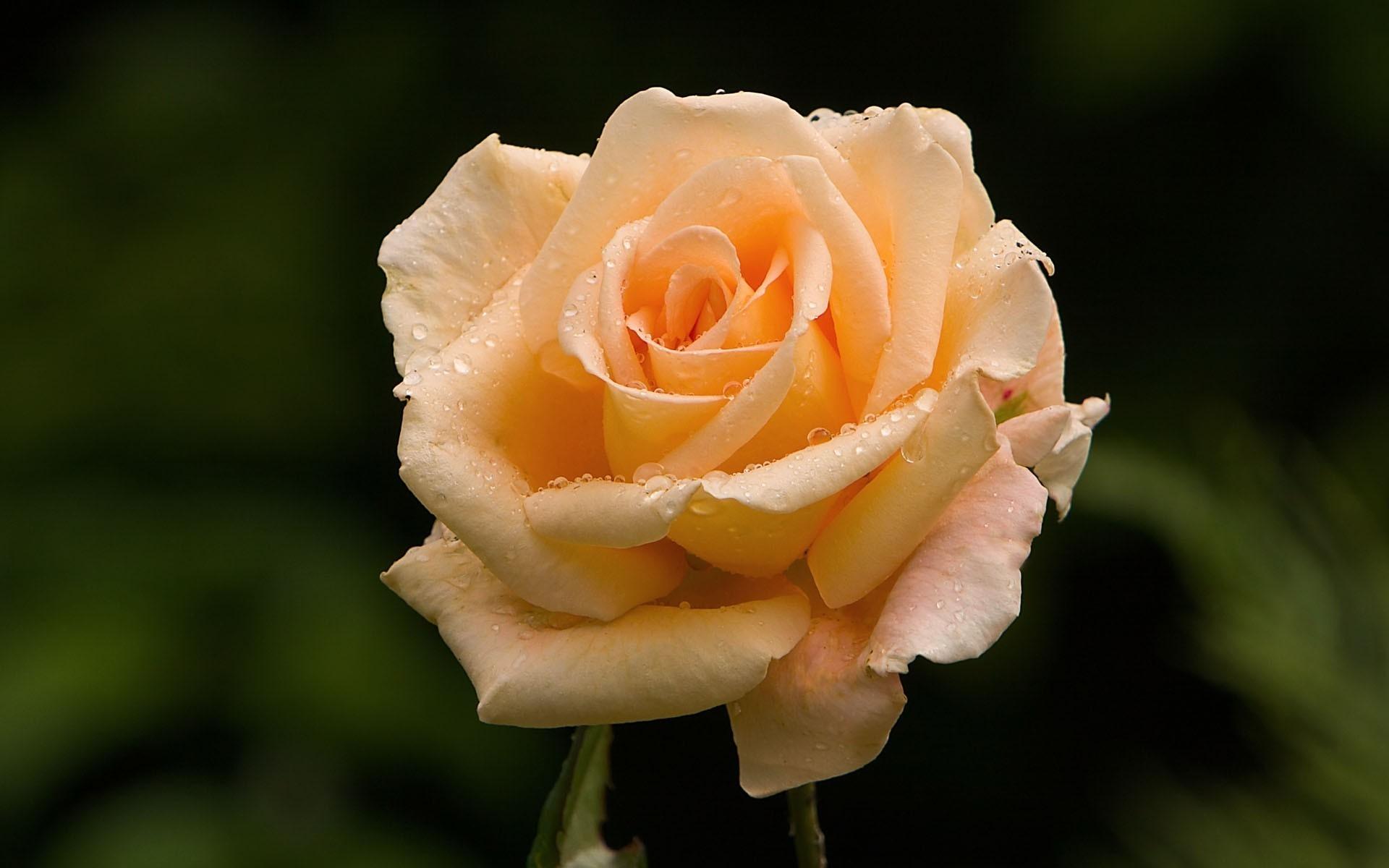 https://get.wallhere.com/photo/yellow-rose-Peach-spring-light-flower-plant-flora-bud-petal-tender-wildflower-computer-wallpaper-flowering-plant-close-up-macro-photography-plant-stem-garden-roses-rose-family-rose-order-floribunda-rosa-centifolia-china-rose-787461.jpg
